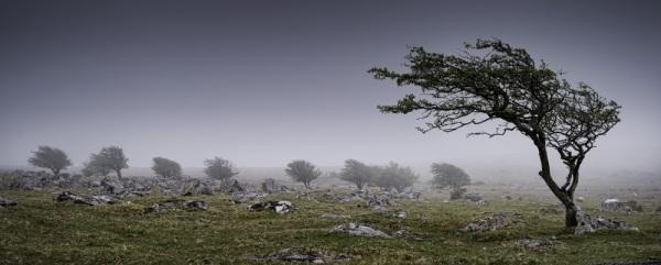 wind-swept-tree