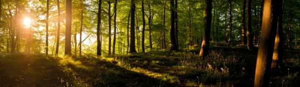 Sunrise in the wild woods idyllic golden summer forest panorama